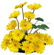 Bright and cheerful is exactly how a recipient of a yellow gerbera bouquet will feel.Arrangement of 20 Yellow Gerberas