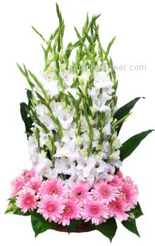 Send this beautifully Arrangement of White 20 Gladioli & Pink 20 Gerberas to your dear ones.