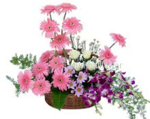 Basket Arrangement of 15 pink gerbras, 10 white roses and 6 purple orchids nicely decorated with greens